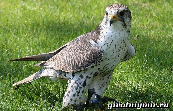 Балобан-птица-Образ-жизни-и-среда-обитания-птицы-балабан-3
