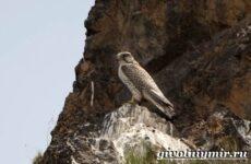 Балобан птица. Образ жизни и среда обитания птицы балабан