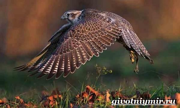 Балобан-птица-Образ-жизни-и-среда-обитания-птицы-балабан-5