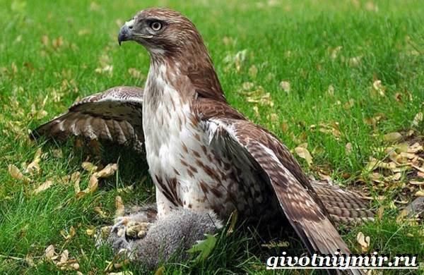 Балобан-птица-Образ-жизни-и-среда-обитания-птицы-балабан-6