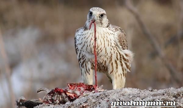 Балобан-птица-Образ-жизни-и-среда-обитания-птицы-балабан-7