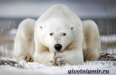 Белый медведь. Образ жизни и среда обитания белых медведей