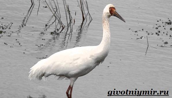 Белый-журавль-птица-Образ-жизни-и-среда-обитания-белого-журавля-1