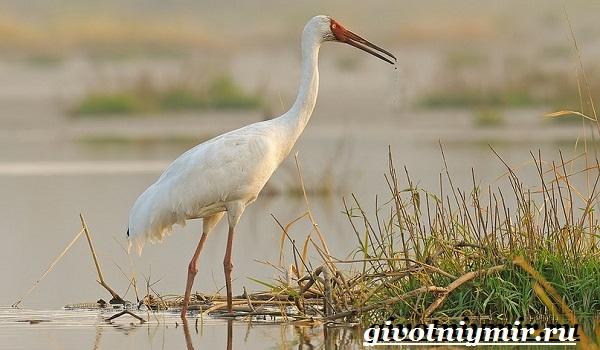Белый-журавль-птица-Образ-жизни-и-среда-обитания-белого-журавля-2