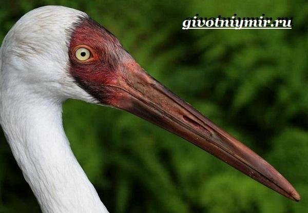 Белый-журавль-птица-Образ-жизни-и-среда-обитания-белого-журавля-3