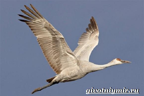 Белый-журавль-птица-Образ-жизни-и-среда-обитания-белого-журавля-5