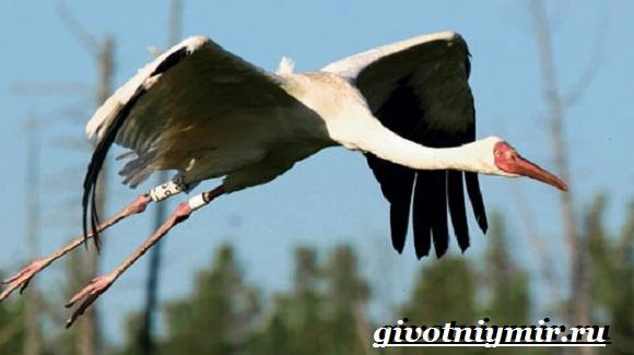 Белый-журавль-птица-Образ-жизни-и-среда-обитания-белого-журавля-6