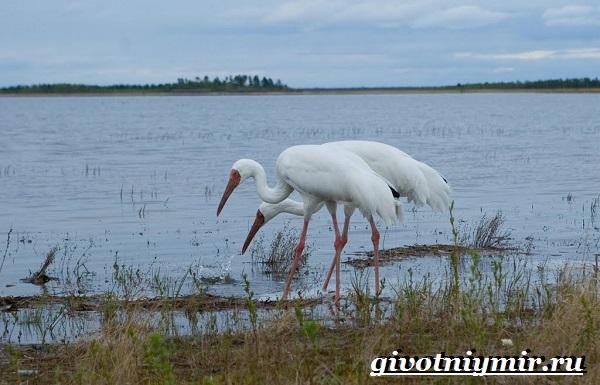 Белый-журавль-птица-Образ-жизни-и-среда-обитания-белого-журавля-7