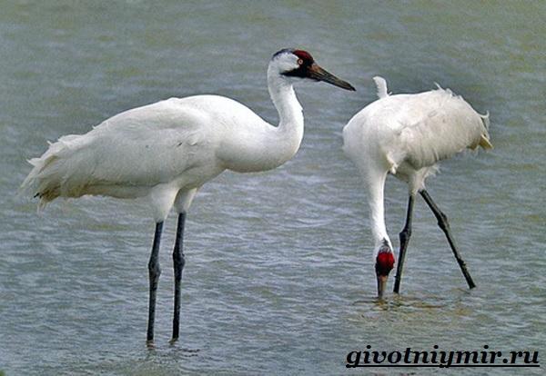 Белый-журавль-птица-Образ-жизни-и-среда-обитания-белого-журавля-8