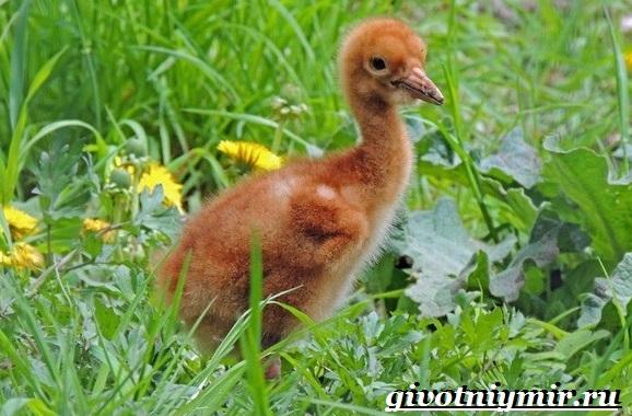 Белый-журавль-птица-Образ-жизни-и-среда-обитания-белого-журавля-9
