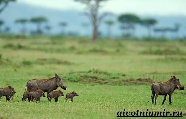 Бородавочник-животное-Образ-жизни-и-среда-обитания-бородавочника-3