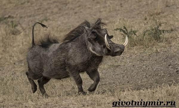 Бородавочник-животное-Образ-жизни-и-среда-обитания-бородавочника-4