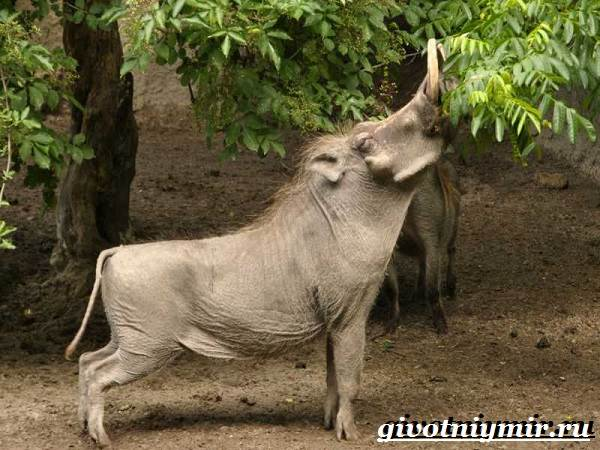 Бородавочник-животное-Образ-жизни-и-среда-обитания-бородавочника-6