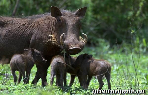 Бородавочник-животное-Образ-жизни-и-среда-обитания-бородавочника-7