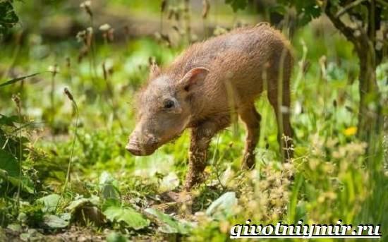 Бородавочник-животное-Образ-жизни-и-среда-обитания-бородавочника-8