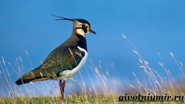 Чибис-птица-Образ-жизни-и-среда-обитания-чибиса-1