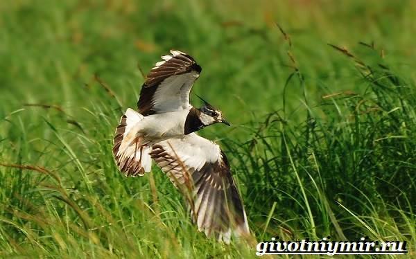 Чибис-птица-Образ-жизни-и-среда-обитания-чибиса-3