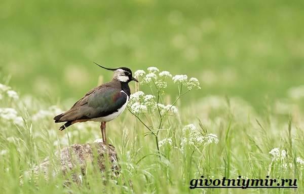 Чибис-птица-Образ-жизни-и-среда-обитания-чибиса-5