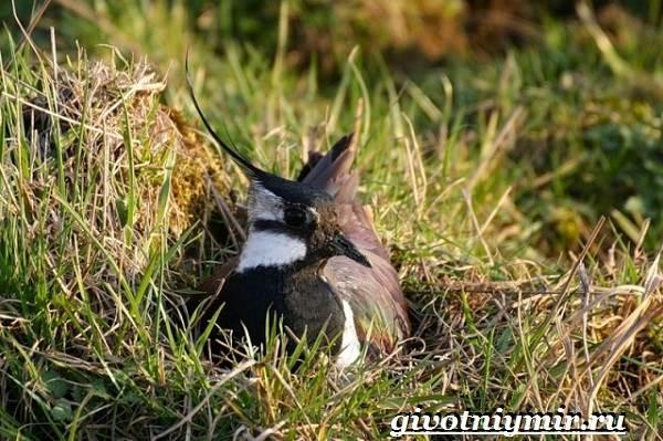 Чибис-птица-Образ-жизни-и-среда-обитания-чибиса-6