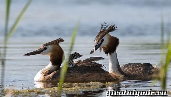 Чомга-птица-Образ-жизни-и-среда-обитания-чомги-2