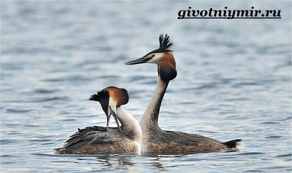 Чомга-птица-Образ-жизни-и-среда-обитания-чомги-3