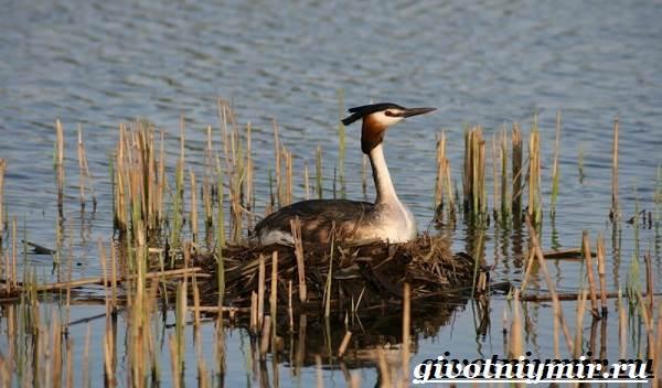 Чомга-птица-Образ-жизни-и-среда-обитания-чомги-4