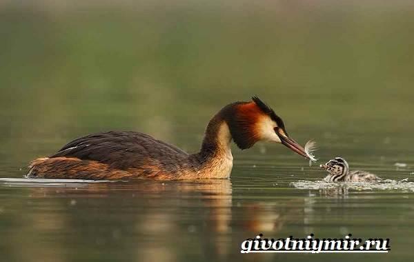 Чомга-птица-Образ-жизни-и-среда-обитания-чомги-5