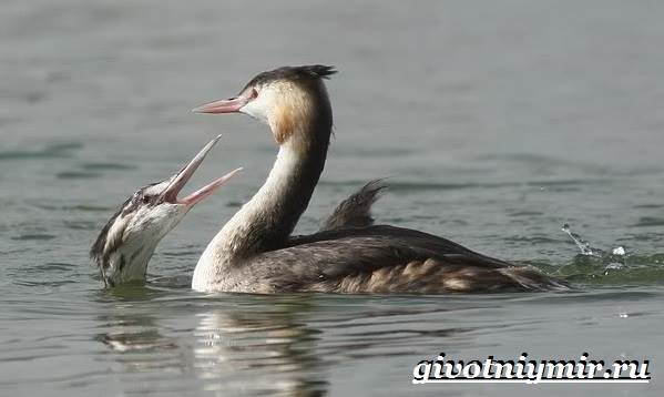 Чомга-птица-Образ-жизни-и-среда-обитания-чомги-6