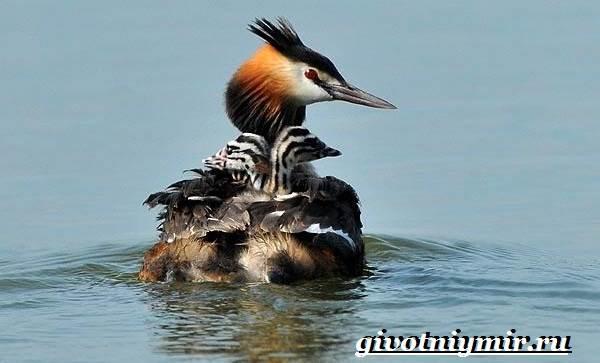 Чомга-птица-Образ-жизни-и-среда-обитания-чомги-8