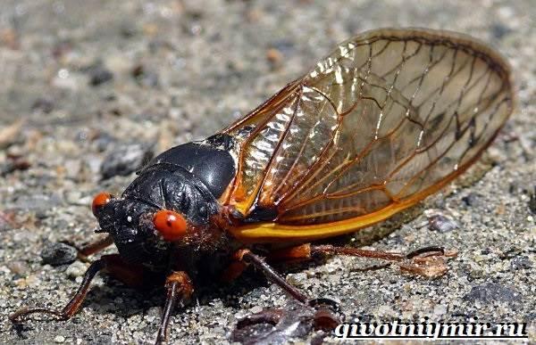 Цикада-насекомое-Образ-жизни-и-среда-обитания-цикады-2