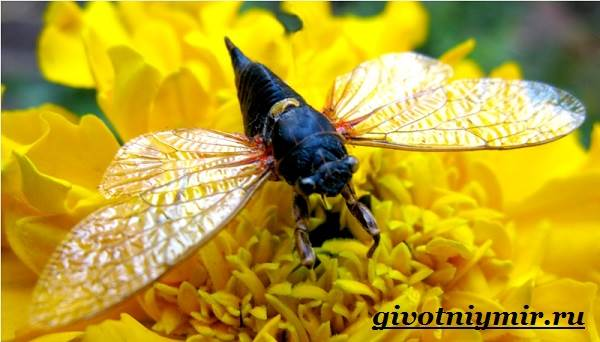 Цикада-насекомое-Образ-жизни-и-среда-обитания-цикады-3