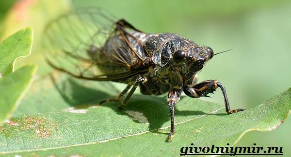 Цикада-насекомое-Образ-жизни-и-среда-обитания-цикады-4