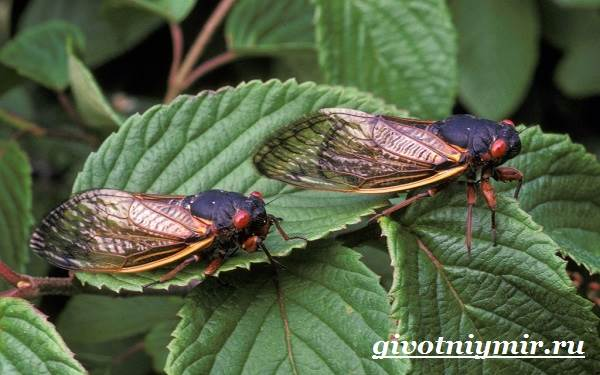 Цикада-насекомое-Образ-жизни-и-среда-обитания-цикады-5