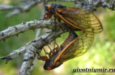 Цикада насекомое. Образ жизни и среда обитания цикады