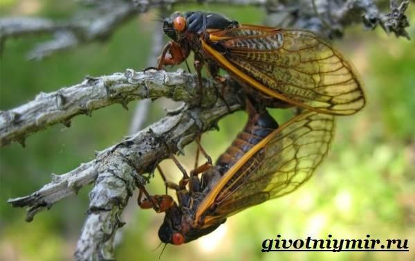 Цикада-насекомое-Образ-жизни-и-среда-обитания-цикады-7