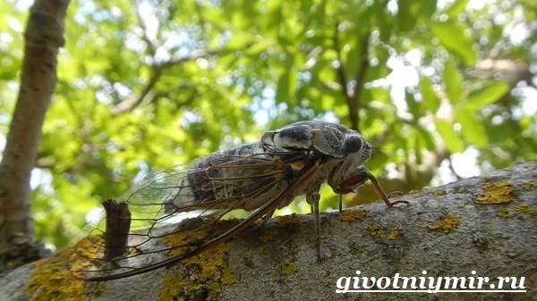 Цикада-насекомое-Образ-жизни-и-среда-обитания-цикады-8