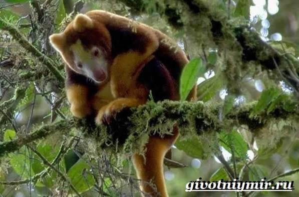 Древесный-кенгуру-Образ-жизни-и-среда-обитания-древесного-кенгуру-1