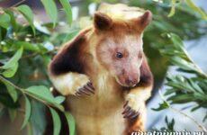 Древесный кенгуру. Образ жизни и среда обитания древесного кенгуру