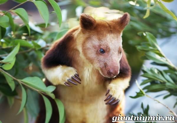 Древесный-кенгуру-Образ-жизни-и-среда-обитания-древесного-кенгуру-3