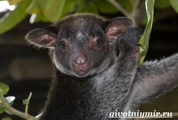 Древесный-кенгуру-Образ-жизни-и-среда-обитания-древесного-кенгуру-4