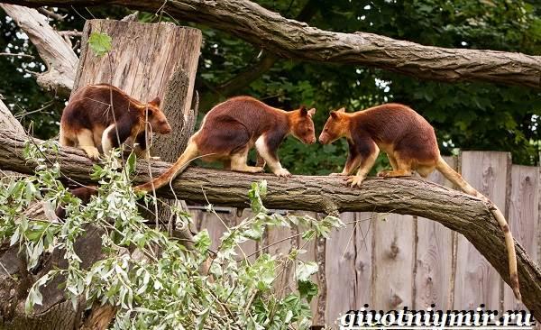 Древесный-кенгуру-Образ-жизни-и-среда-обитания-древесного-кенгуру-5