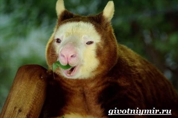 Древесный-кенгуру-Образ-жизни-и-среда-обитания-древесного-кенгуру-6