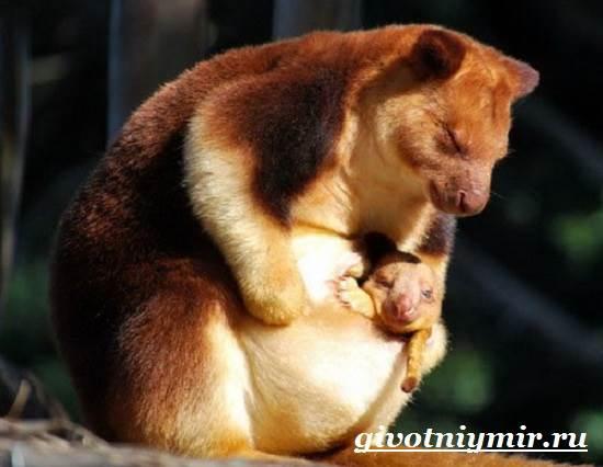 Древесный-кенгуру-Образ-жизни-и-среда-обитания-древесного-кенгуру-7