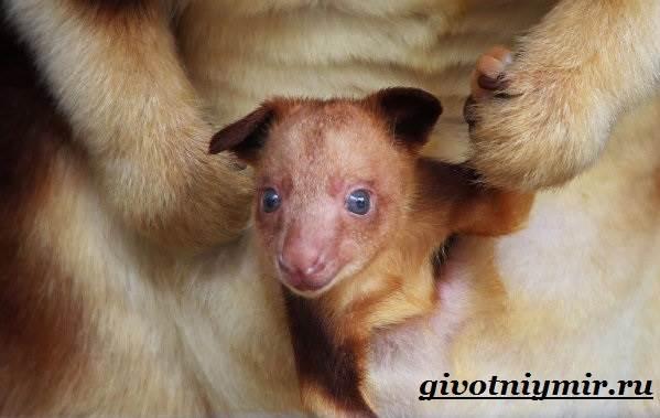 Древесный-кенгуру-Образ-жизни-и-среда-обитания-древесного-кенгуру-8