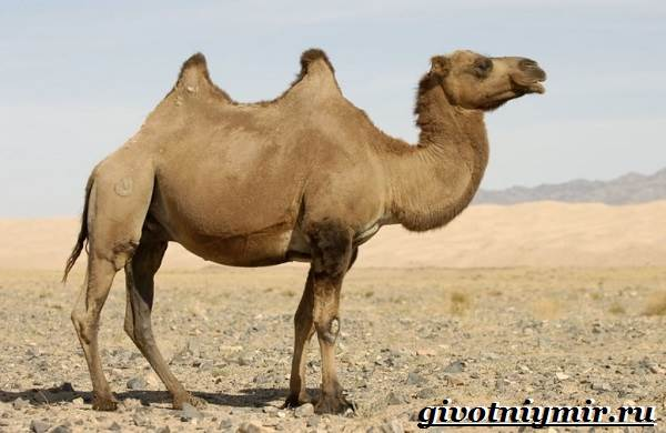 Двугорбый-верблюд-Образ-жизни-и-среда-обитания-двугорбого-верблюда-1