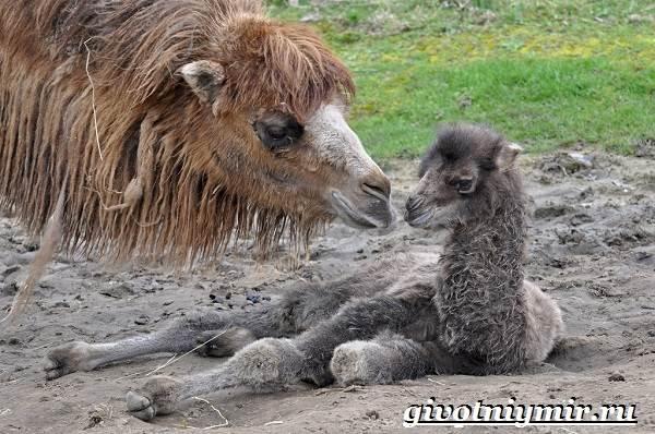 Двугорбый-верблюд-Образ-жизни-и-среда-обитания-двугорбого-верблюда-10