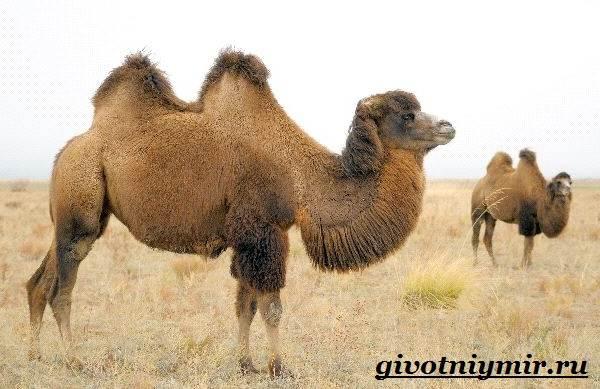 Двугорбый-верблюд-Образ-жизни-и-среда-обитания-двугорбого-верблюда-2