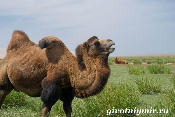 Двугорбый-верблюд-Образ-жизни-и-среда-обитания-двугорбого-верблюда-3