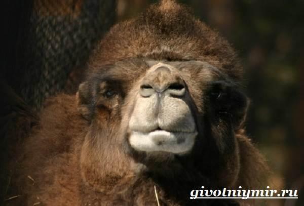 Двугорбый-верблюд-Образ-жизни-и-среда-обитания-двугорбого-верблюда-4