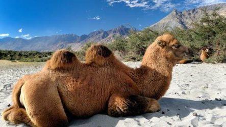Двугорбый верблюд. Образ жизни и среда обитания двугорбого верблюда